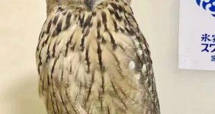 二次元美图绘画插图之所以猫头鹰的腿到底有多长呢!插图